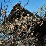 北鎌倉:東慶寺の梅の花(2016.2.17)
