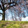 桜が咲く頃になると読みたくなる梶井基次郎『桜の樹の下には』