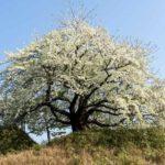 大人の英作勉強:梶井基次郎の『桜の樹の下には』