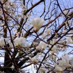 東京散歩:北の丸公園の木蓮とだいこんの花