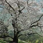 梶井基次郎の『桜の樹の下には』を読んで